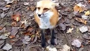 En el jardín se encontró con este zorro, ¡lo que pasó luego es maravilloso!