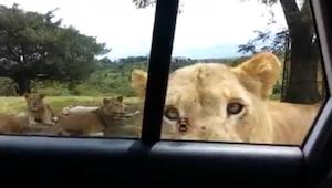 Estaban observando los leones tranquilamente, cuando de repente uno de los anima