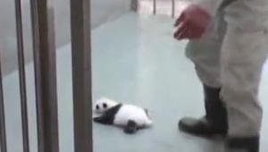 Una pequeña panda conoce a su mamá. ¡Es un encuentro maravilloso!