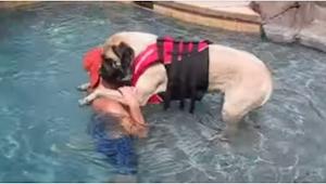 Un mastín grandísimo aprende a nadar... ¡Es más mono que un cachorro!