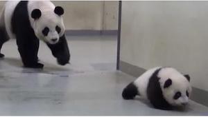 Un pequeño panda no quería ir a dormir... ¡Entonces su madre entró en acción! Mi