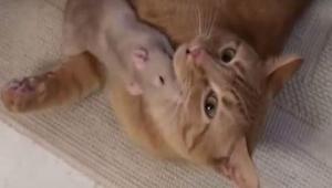 Una rata se acercó al gato. ¡Lo que pasó luego me sorprendió!