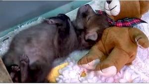 Un zorro muy mono abraza a un osito de peluche. Unos días más tarde la gente que