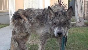 Un veterinario salvó a este perro muriéndose de hambre . Sólo... ¡no es perro de