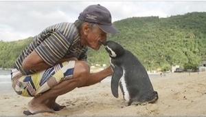 Este pingüino cada año vuelve al mismo lugar para visitar al hombre que le había