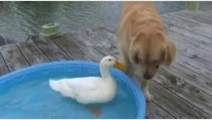Un perro vio a un pato e hizo algo inesperado. ¡No esperaba ver esto!