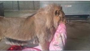 Con la manta, cuál lleva este león, se relaciona una historia triste. Pobrecito.