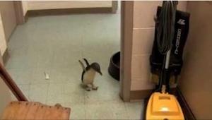Un pequeño pingüino se perdió, pero mirad lo que pasó cuando encontró a su prote