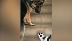 Un gatito intenta subir escaleras, entonces un pastor alemán hace una cosa extra
