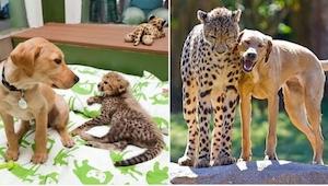 Estos 20 animales se críaron juntos y... no cambiaron con el tiempo :)