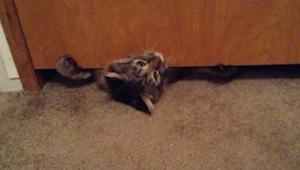 El gato más gordo intenta pasar por debajo de la puerta. ¡No podemos parar de re