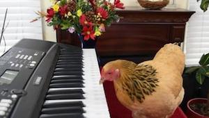 ¡Cuesta creerlo, pero esta gallina toca el piano!