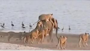 14 leonas atacaron a un animal que pesaba unos 6000 kilógramos. ¡Lo que pasó cua