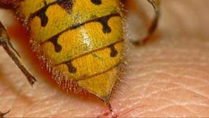 ¡Las 5 maneras más eficaces de espantar a las avispas! Ya ni una se acercará.