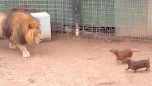 Este león se acerca furtivamente a dos perros salchicha que estaban en su corral