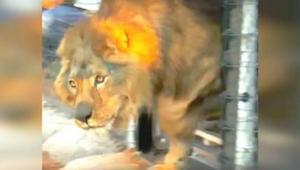 Este león pasó toda su vida en un corral de hormigón. ¡Mirad cómo reaccionó al v