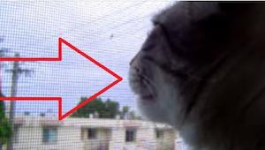 Este gato se cree un gallo. ¡No podéis perder esta grabación!