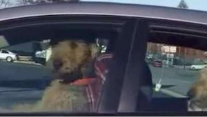 ¡Lo que este perro hace en el coche mientras su dueño no esta, os hará gracia!