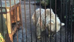 Este oso pasó 30 años enjaulado. ¡Su reacción al ser libre me hizo llorar!