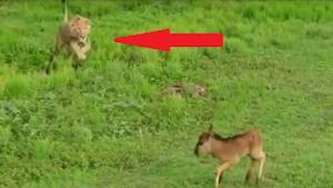 Un león se acerca a un ciervo asustado y... ¡Esta grabación les dejó en shock a